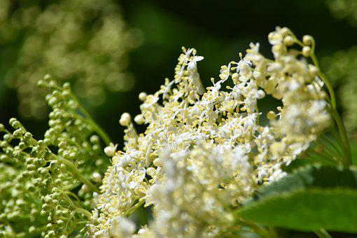 Elderberry Flowers, White Flowers, Inflorescence