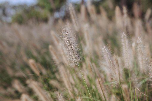 Reed, Flowers, Plant, Grass, Flowering Plant, Flora