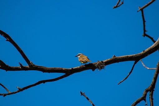 Great Kiskadee, Bird, Small Bird, Perched