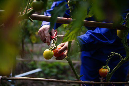 Harvesting, Tomatoes, Vines, Produce, Harvest, Organic
