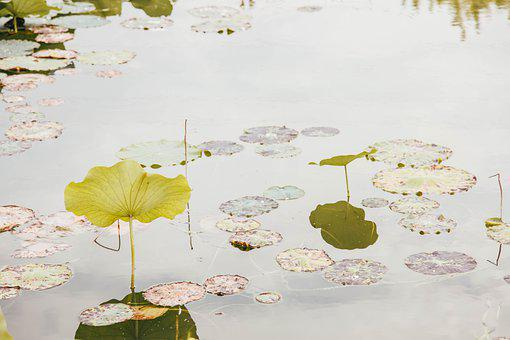 Lotus, Lotus Leaf, Pond, Aquatic Plant, Plant, Flora
