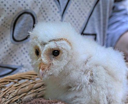 Snow Owl, Owl, Owlet, Polar Owl, White Owl, Arctic Owl