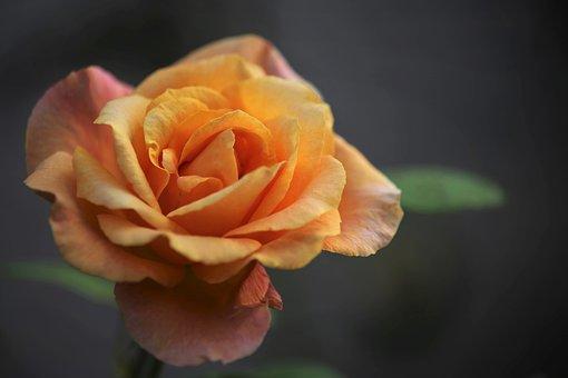 Gold Medal Rose, Rose, Flower, Plant, Flowering Plant