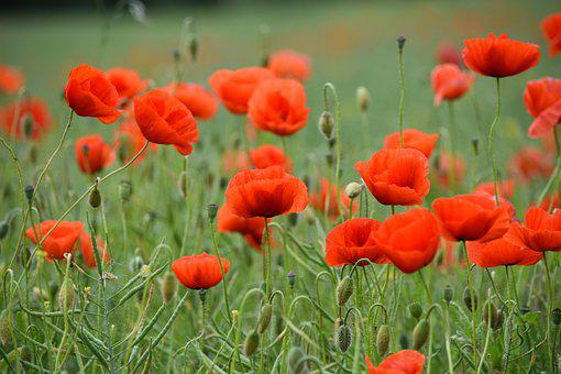 Poppies, Red Poppies, Field Of Poppies, Red Flowers