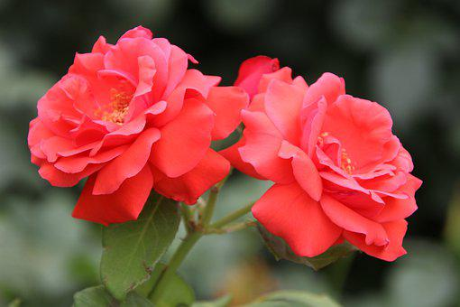 Roses, Red Roses, Red Flowers, Red Petals, Flowers