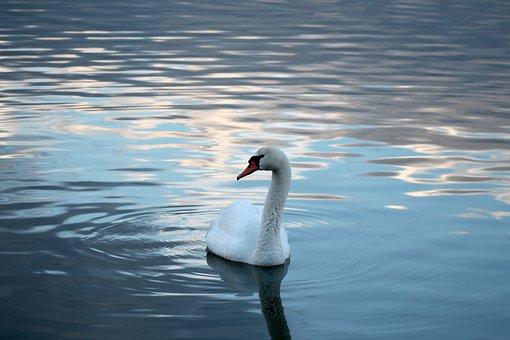 Swan, Bird, Feathers, Plumage, Bill, Lake, Reflection