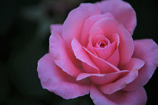 Rose, Pink Rose, Flower, Pink Flower, Petals, Bloom