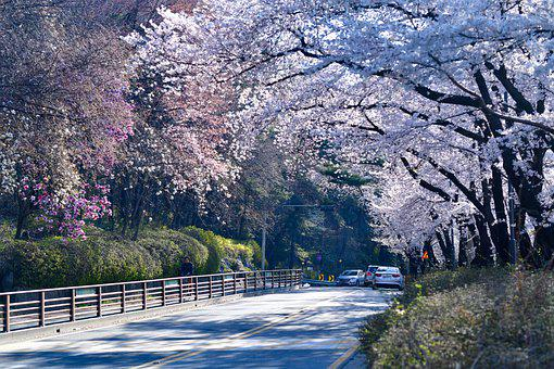 Cherry Blossoms, Road, Trees, Foliage, Flowers, Spring