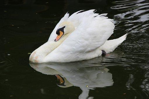 Bird, Water Bird, Swan, Reflection, Swimming, Pond