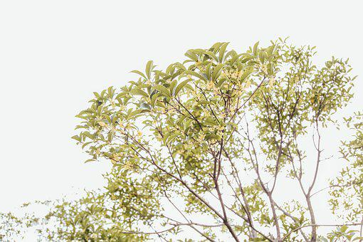 Devilwood, Branches, Tree, Buds, Flowers, Leaves