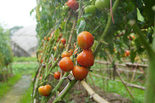 Tomatoes, Vines, Raining, Produce, Harvest, Organic