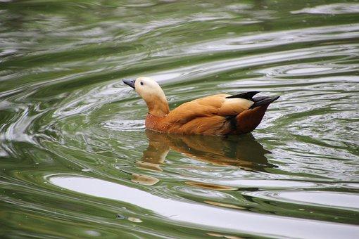 Ruddy Shelduck, Tadorna Ferruginea, Water Bird, Bird