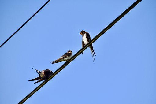 Birds, Swallows, Perched, Birds Perched On A Wire, Ave