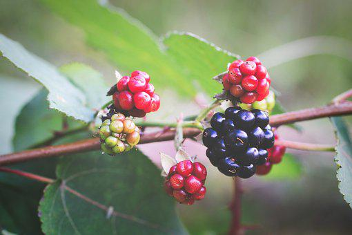 Blackberries, Berries, Fresh Berries