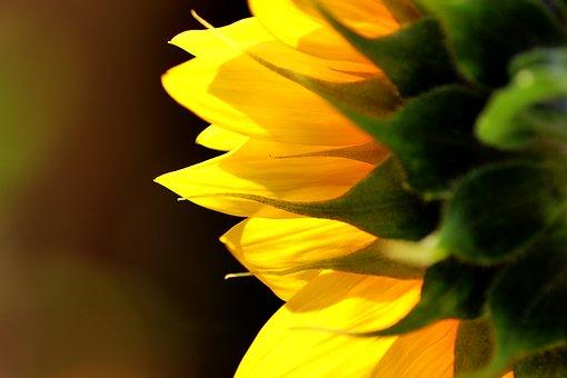 Sunflower, Blossom, Bloom, Yellow Petals, Yellow Flower