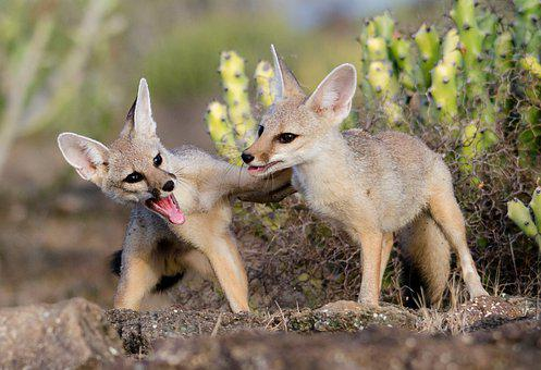Fox, Brothers, Jackal, Wildlife, Nature, Wild, Mammal