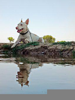 Dog, Canine, Reflection, Pet, Pitbull, Water