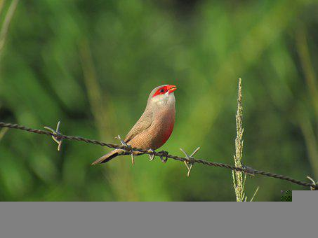 Sealing Spout, Common, St Helena Wax, Bird