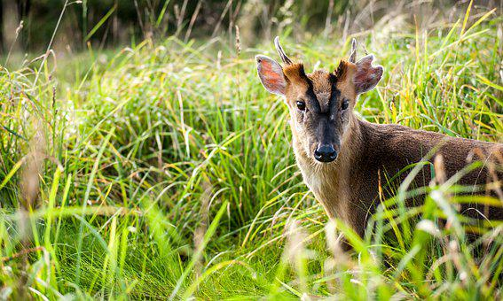 Deer, Fawn, Buck, Baby, Young, Nature, Wildlife, Animal