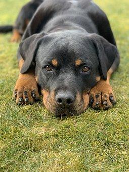 Dog, Rottweiler, Canine, Pet, Domestic, Animal