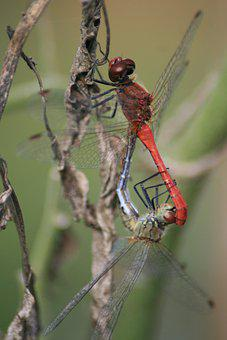 Dragonflies, Pair Of Dragonflies, Insects, Entomology