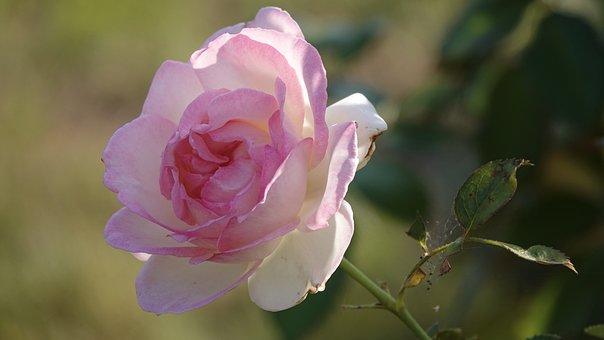 Rose, Flower, Petals, Stem, Leaves, Foliage, Fall