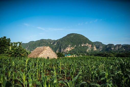 Farm, Plantation, Tobacco Farm, Fields, Agriculture