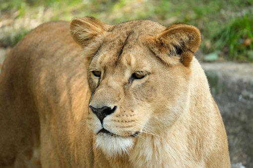 Lioness, Feline, Predator, Big Cat, Carnivores, Female