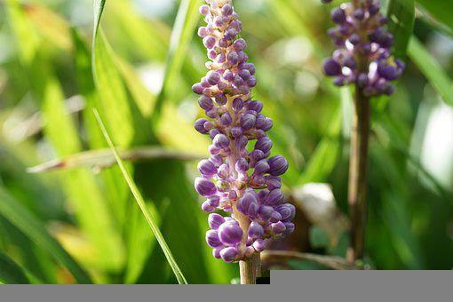 Flowers, Inflorescence, Plants, Leaves, Garden, Flora