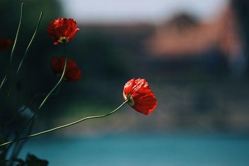 Flower, Poppy, Petals, Plant, Nature, Blossom, Bloom