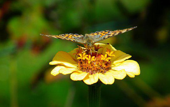 Butterfly, Insect, Wings, Flower, Zinnia, Nature