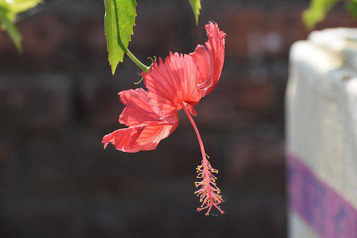 Hibiscus, Rose Mallow, Flower, Hardy Hibiscus