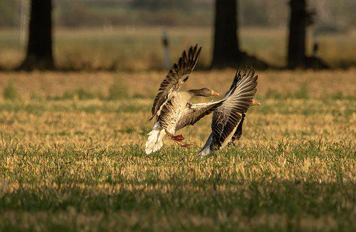 Geese, Field, Wild Geese, Flight, Feathers, Wings