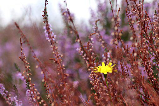 Wildflowers, Heather, Heathland, Meadow, Grasslands