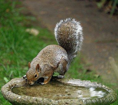Gray Squirrel, Squirrel, Roden, Animal, Mammal