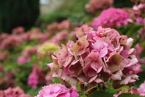 Hydrangea, Hortensia, Flowers, Pink Flowers, Bloom