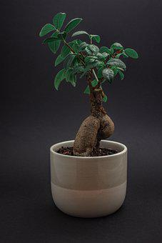 Bonsai, Plant, Indoor Plant, Flower Pot, Small Tree