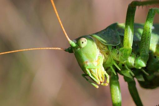 Grasshopper, Macro Photography, Viridissima, Insect