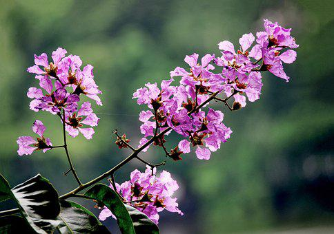 Purple Flowers, Inflorescence, Leaves, Plants, Bloom