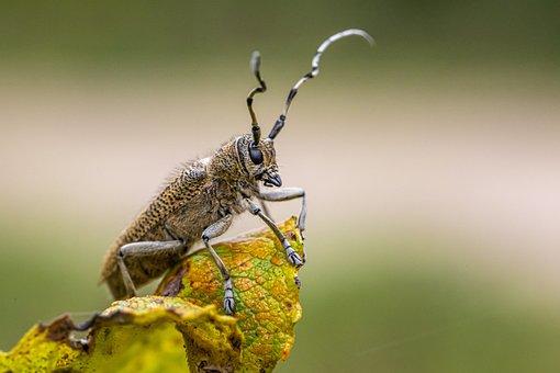 Large Poplar Borer, Longhorn Beetle, Saperda Carcharias