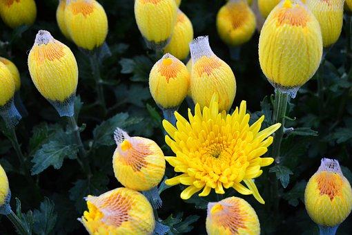 Marigolds, Yellow Flowers, Yellow Petals, Flowers
