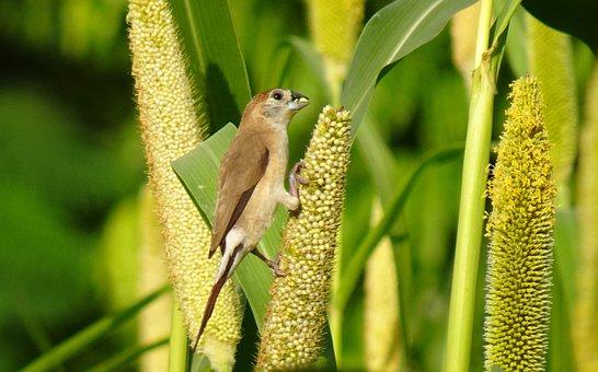 Bird, Indian Silverbill, White-throated, Munia