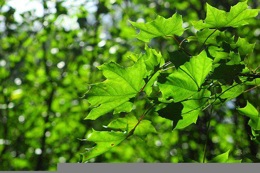 Leaves, Foliage, Trees, Forest, Woods, Nature, Plants
