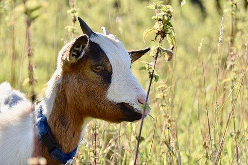 Goat, Ruminant, Pasture, Nature, Animal, Mammal