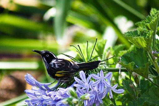 Bird, Phylidonyris Novaehollandiae, Feather, Perched