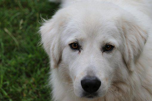 Maremma Sheepdog, Dog, Pet