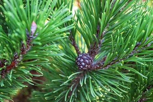 Tree, Cone, Conifer, Plant, Coniferous, Forest, Nature