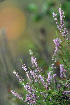 Heathers, Flowers, Inflorescence, Plants, Nature, Flora
