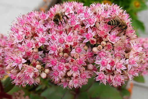 Orpine, Bees, Pollination, Insects, Flowers