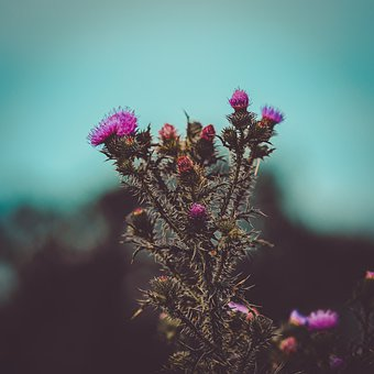 Thistle, Plant, Flower, Thorns, Prickly, Petals